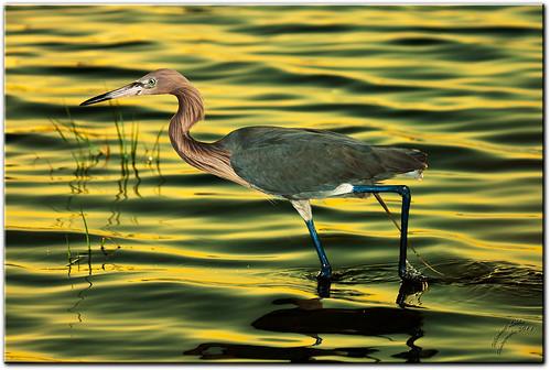 nature water birds florida wildlife libre fortdesoto héron sauvage faune reddishegret egrettarufescens pinellascounty photocontesttnc11