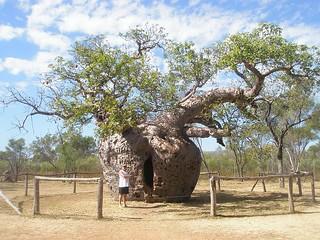Prison Boab tree | by lynandtommy