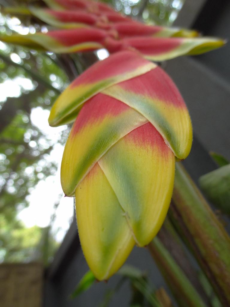 Heliconia pendula, fam. - Heliconiaceae