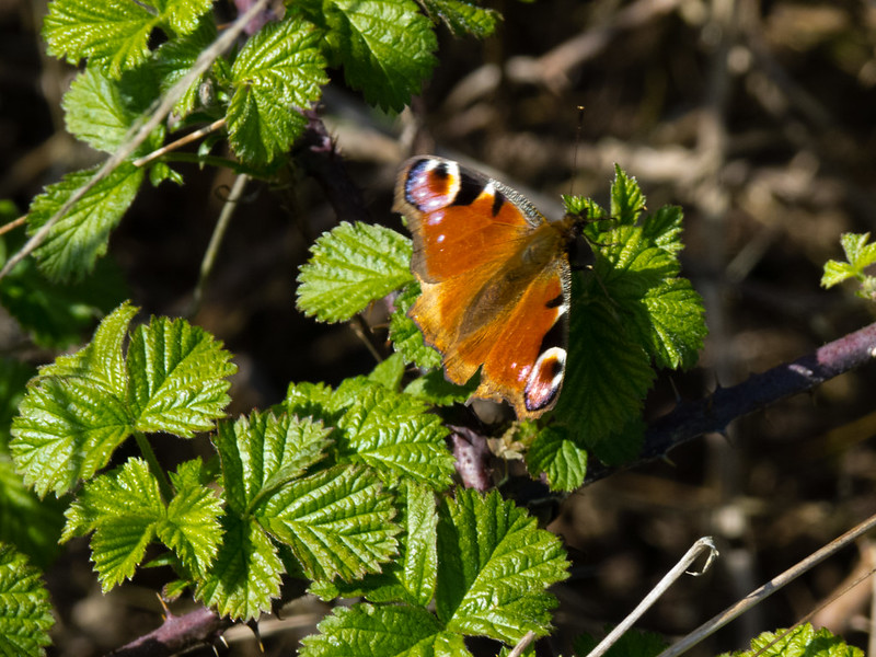 Peacock butterfly on a bramble