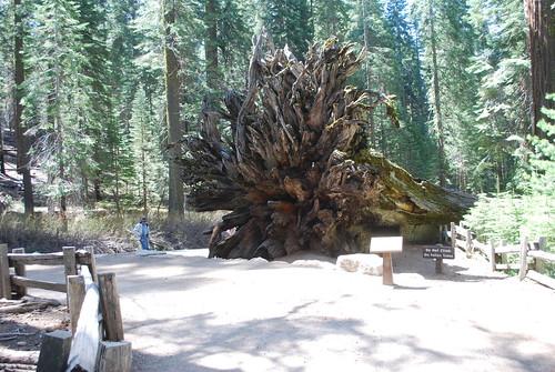 geotagged redwood yosemitenationalpark giantsequoia mariposagrove nikond40x nikon1855mmvr