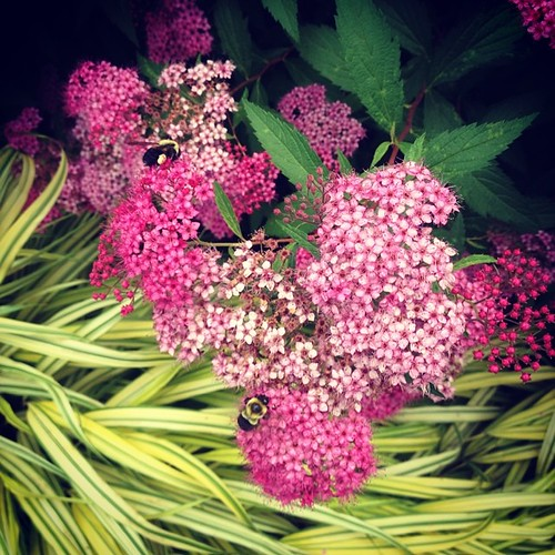 Spiraea japonica 'Anthony Waterer' at NYBG | by klp.nyc