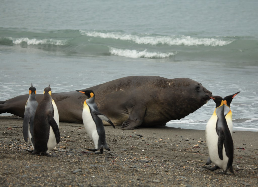 King Penguins and a big Southern Elephant Seal