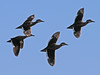 Hottentot Teal, Lake Chilwa (Malawi), 15-May-11 by Dave Appleton