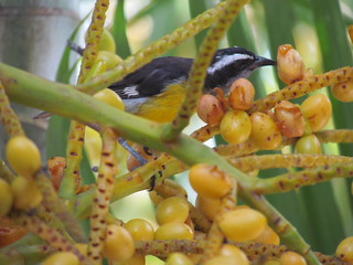 Bananaquit | by TaranRampersad