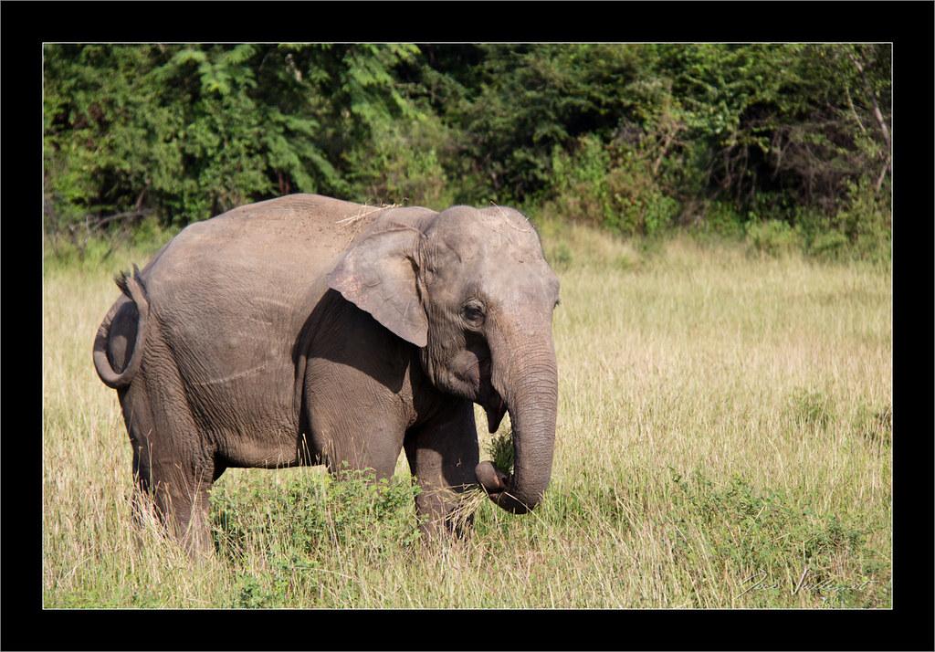 Eléphant d'Asie (Elephas maximus) | L'éléphant d'Asie est ...