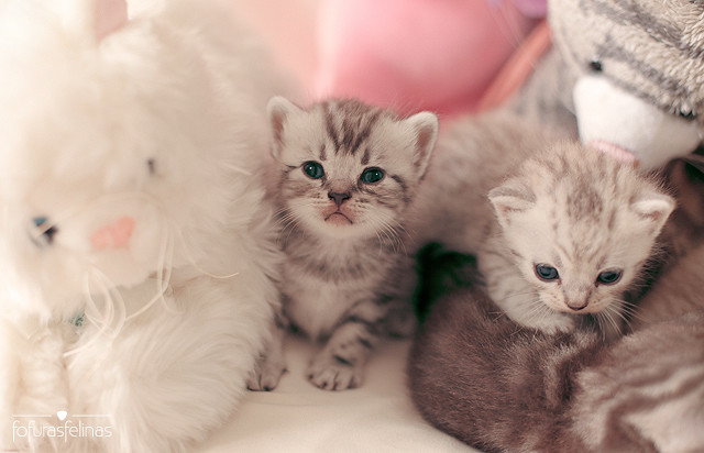 Baby Cats Those Are British Shorthair Babies From Doce