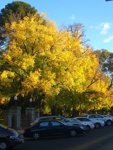 autumn trees australia newsouthwales georgestreet bathurst machattiepark