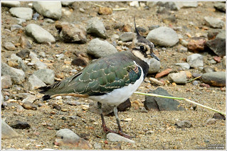 Northern Lapwing | by oLDcaR