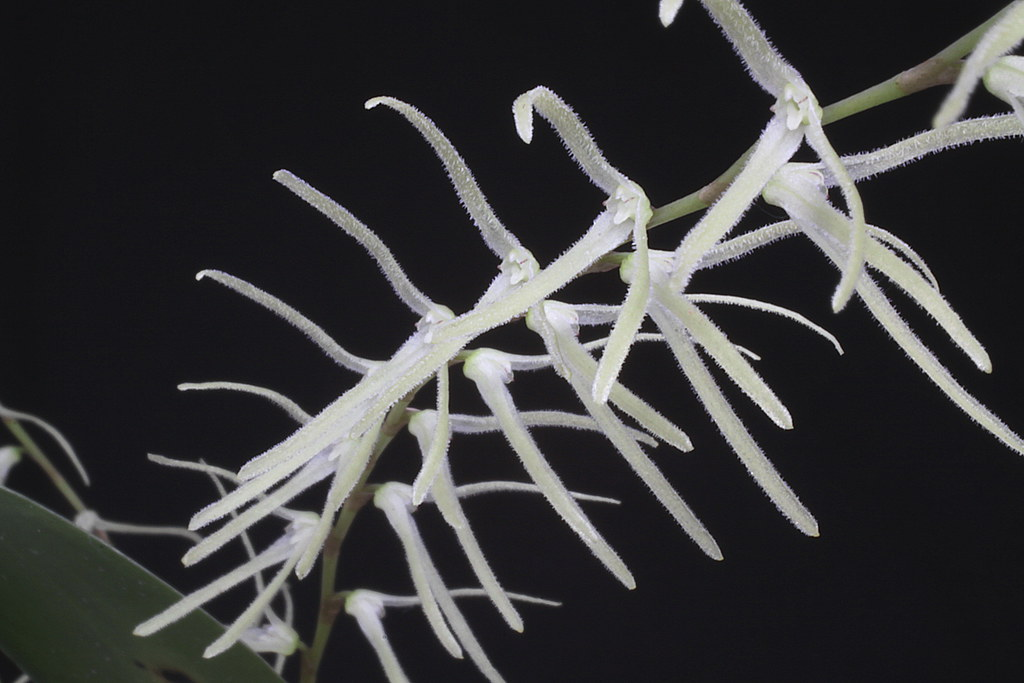 Anathallis species