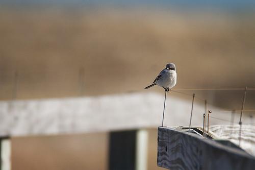 nature birds canon wildlife 7d loggerheadshrike shrike wildbirds 600mm