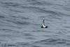 Black-bellied Storm-Petrel / Swartstreepstormswael - Fregetta tropica [46] by Eagles Rest
