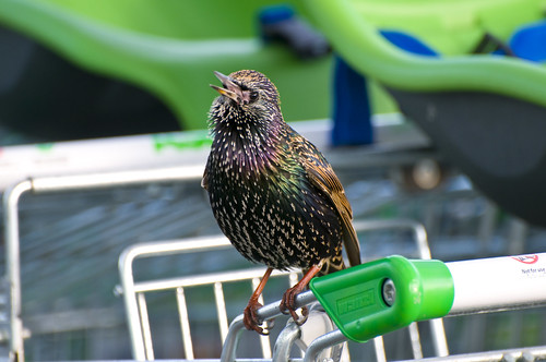 Starling (Sturnus vulgaris) Singing on a Shopping Trolley in Asda Car Park, Llanelli, South Wales | by Steve Greaves