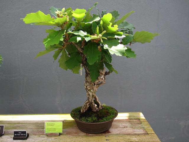 250012 Quercus dentate