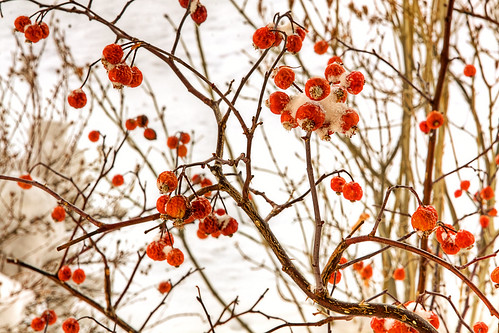 Berries Forgetting It's Winter | by mhedstrom