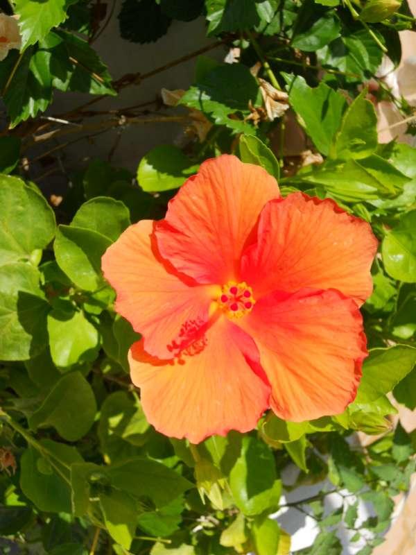 Hibiscus rosa sinensis 'Ankara' v 3