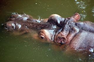 Hippo @ Taipei Zoo