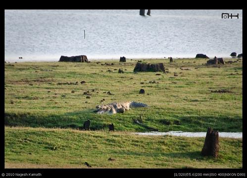 travel india wildlife crocodile karnataka kabini reptiles nagarhole nagarholenationalpark