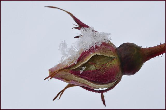 Rosebud In Winter
