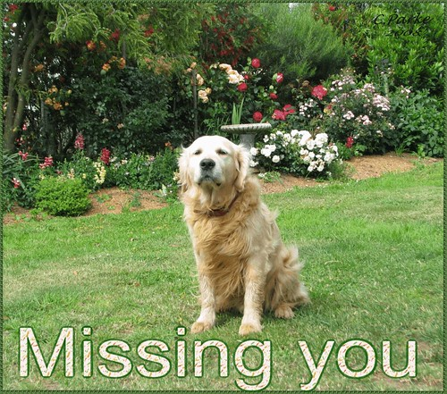 eCard: Missing You - dog - golden  labrador | by you get the picture