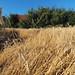 Flickr photo 'Secale cereale field (48°11' N 16°30' E)' by: HermannFalkner/sokol.