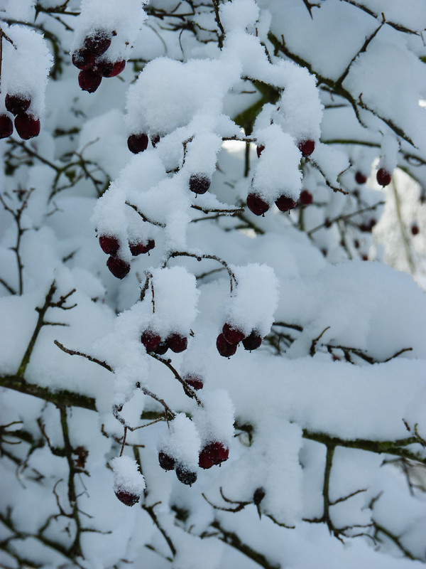 Snow-covered haws
