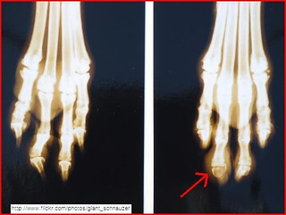 Giant Schnauzer Canine Dog Toe Cancer SCC X-Ray Digital Squamous Cell Carcinoma
