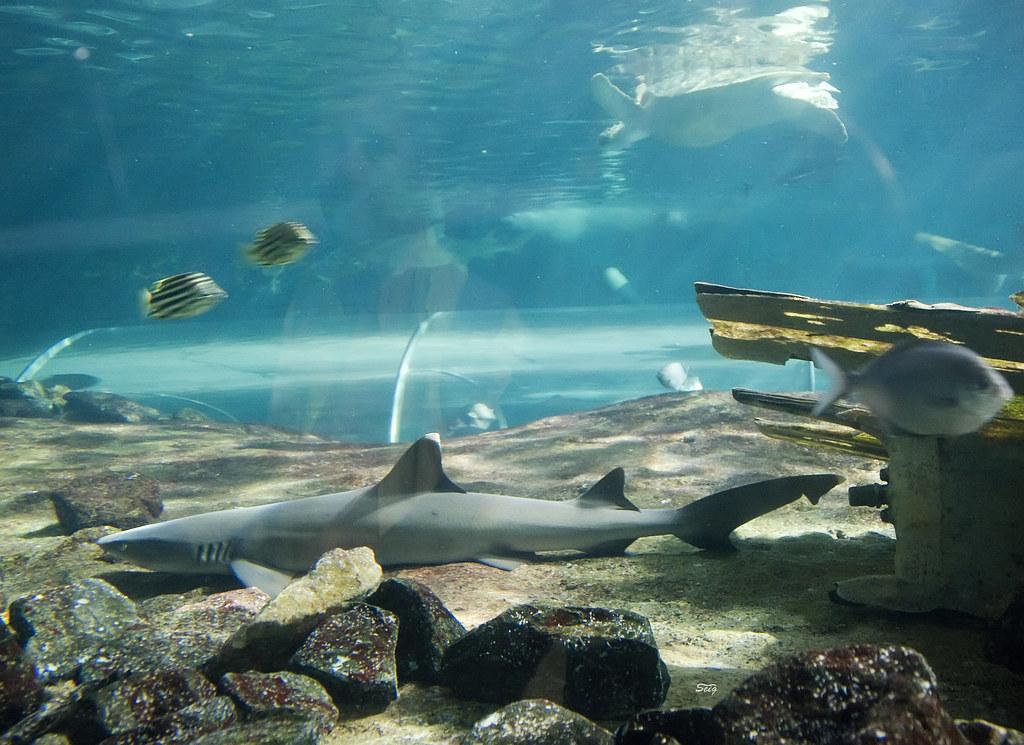 Whitetip Reef Shark Triaenodon obesus Sydney Aquarium_7814 ...