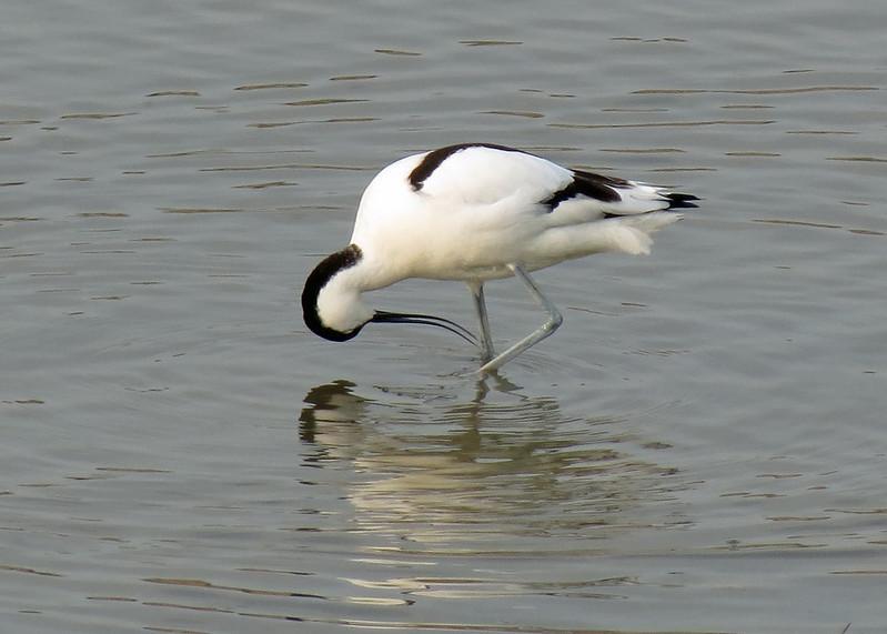 Avocet -Recurvirostra avosetta