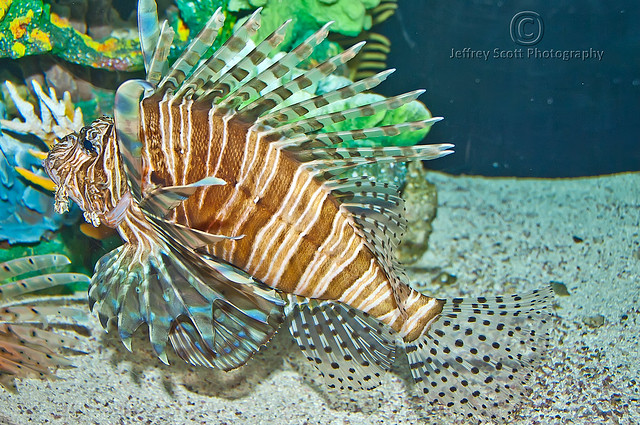 Lion Fish at the Florida Aquarium