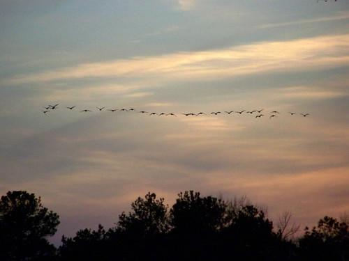 sunset bird geese maryland easternshore
