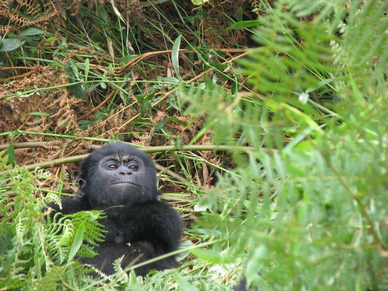Mountain Gorilla Trekking In Bwindi Impenetrable National Flickr