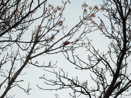 Red bird | by artsufartsu