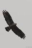 Gavilán Zamuro / Zone-Tailed Hawk (Buteo albonotatus) by Erick Houli