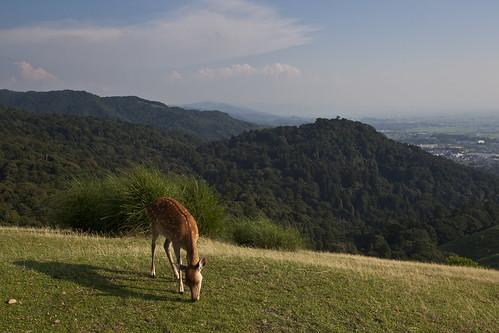 Nara deer on hill
