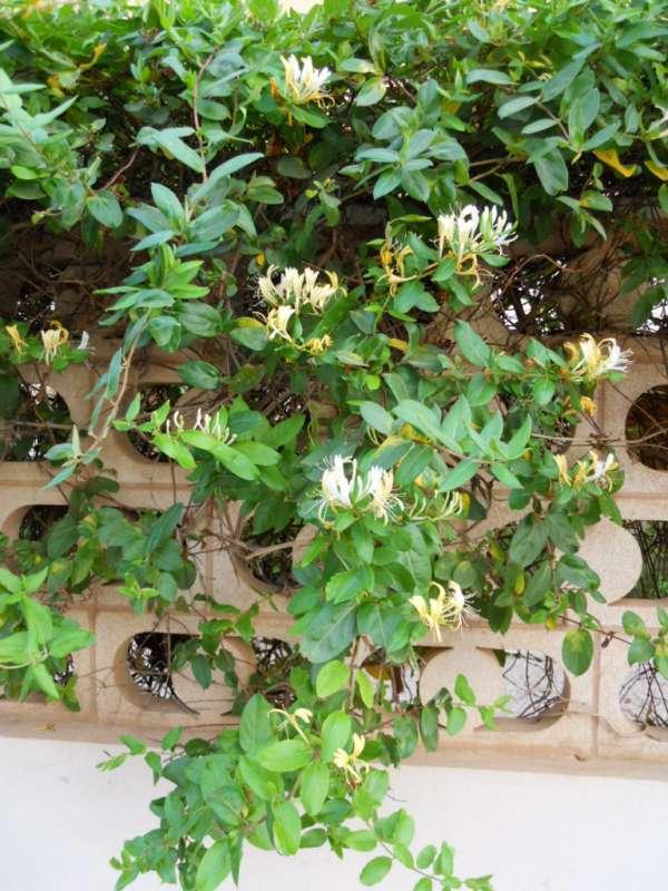 Lonicera japonica v 1