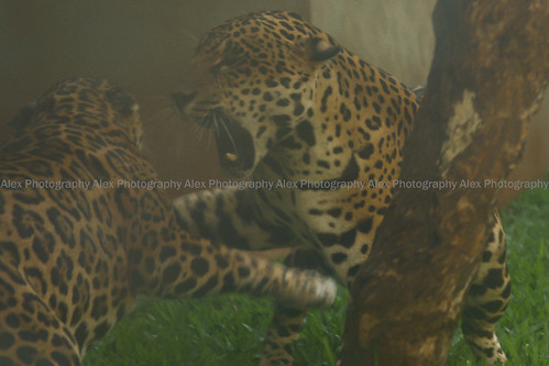 jaguars onça canonef28135mm pantheraonca canoneosrebelxs jaguarete canoneos1000d valentejuma