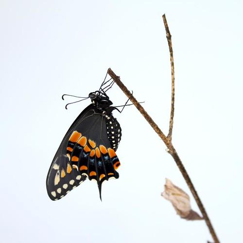 Black Swallowtail Butterfly | by myruby