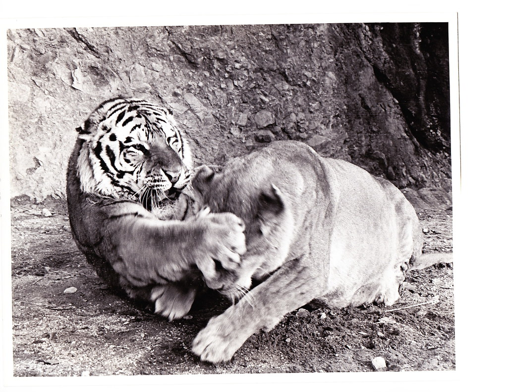 Roar The Movie Lion Fighting Tiger Roar The Movie Tige Flickr