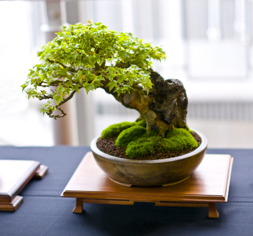Trident Maple Bonsai Tree Acer Buergerianum Root Over R Flickr
