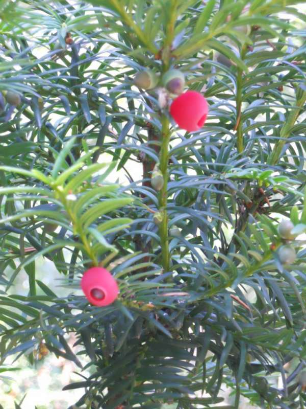 Taxus baccata 'Fastigiata' con frutos v 2