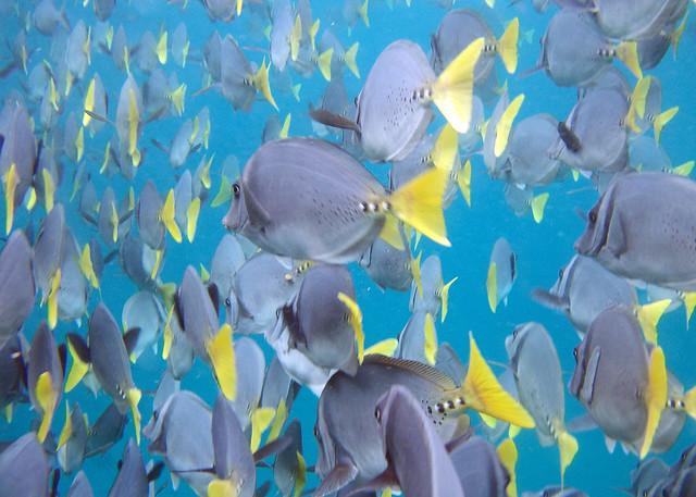Shoal of Surgeon Fish
