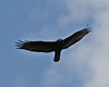 Zone-tailed Hawk, Buteo albonotatus by tripp.davenport