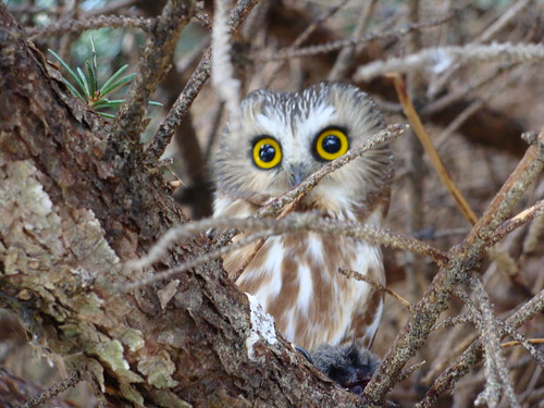 Northern Saw-whet Owl | by twobirders4life