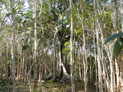 Paperbark Forest Tree