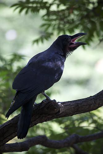 Crows a crowin'