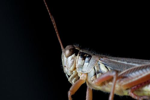 Grasshopper | by Tschi