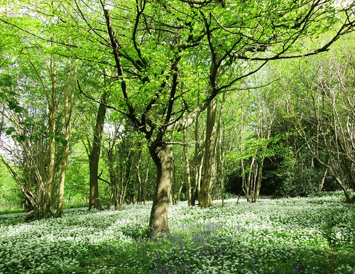 Bluebells and wild garlic in wood near Finchdean 7 | by Leimenide