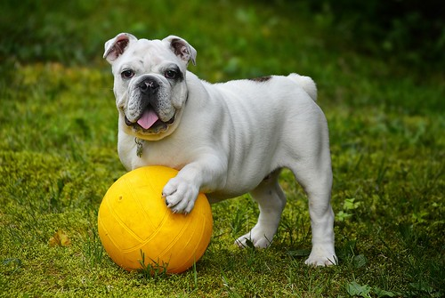 english-bulldog-562723_1280   by localpups