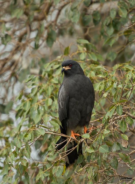great black hawk (Buteogallus urubitinga)  gavilán cangrejero grande   christian sanchez photography  el pantanal brazil